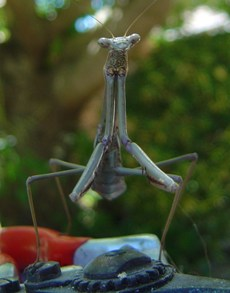 preying mantis smaller