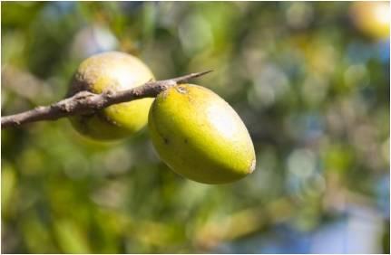 argan oil berries stockphoto