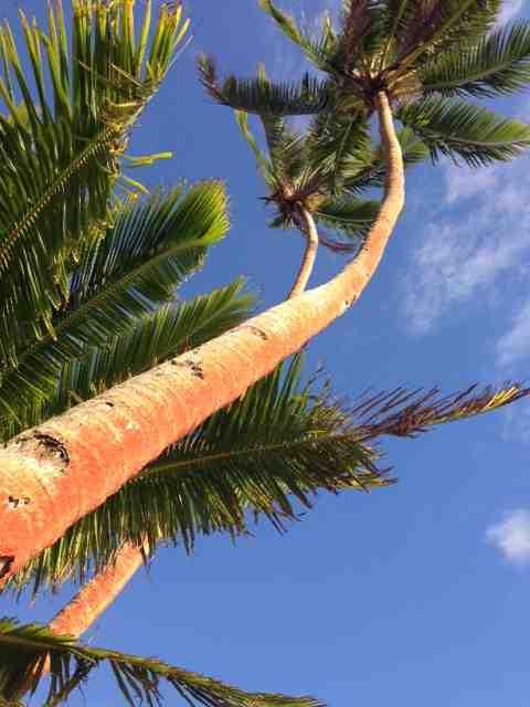 Coconut Trees Fiji
