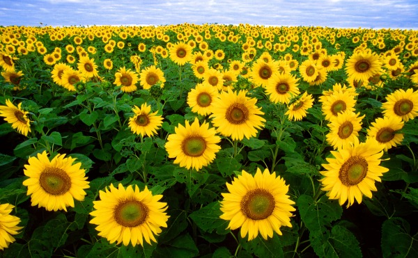 Sunflower oil is rich in Omega 6 fatty acid. While we should take care not to eat too much Omega 6, slapping it onto our skin is actually quite good for us. Lovely job!