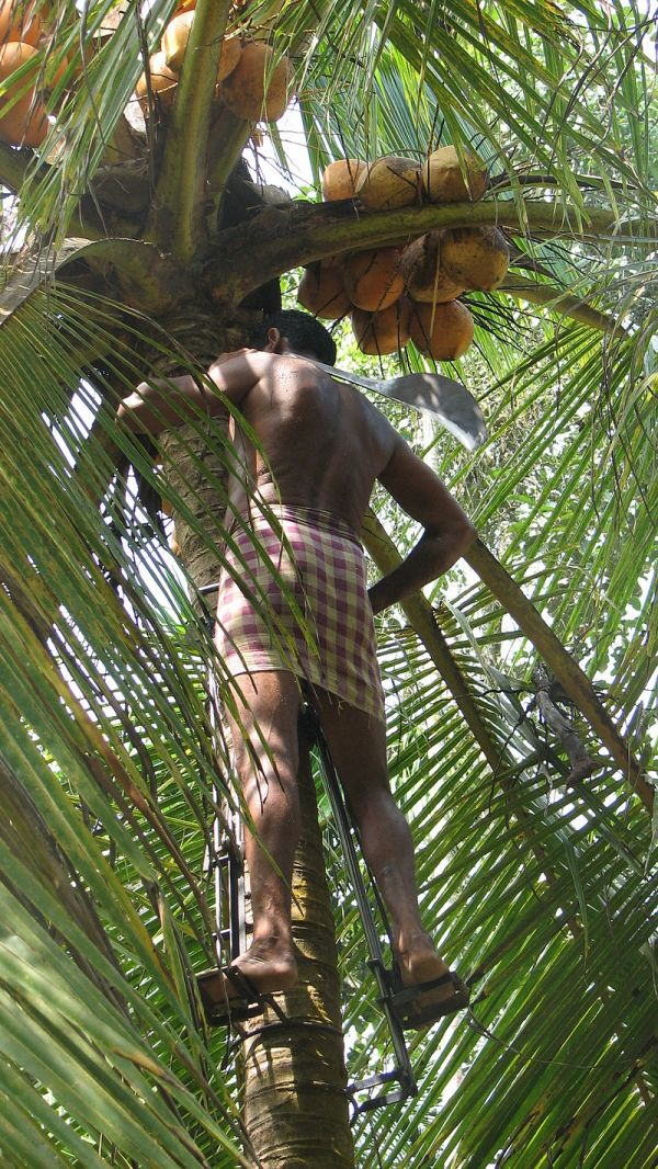 coconut-picking